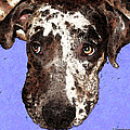 Catahoula Leopard Dog - Soulful Eyes Poster by Sharon Cummings