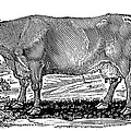 CATTLE Poster by Granger
