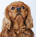 Cavalier King Charles Spaniel Looking Up, Studio Shot Poster by Martin Harvey