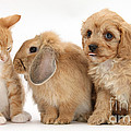 Cavapoo Pup, Rabbit And Ginger Kitten Poster by Mark Taylor