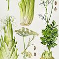 Celery - Fennel - Dill and Celeriac  Poster by Elizabeth Rice