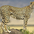 Cheetah Acinonyx Jubatus On Termite Poster by Winfried Wisniewski