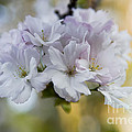 Cherry blossoms Print by Frank Tschakert