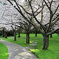 Cherry Blossoms in Stanley park Vancouver Poster by Pierre Leclerc Photography