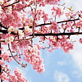 Cherry Blossoms Under Blue Sky Print by neconote