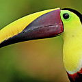 Chestnut Mandibled Toucan Poster by Photography by Jean-Luc Baron