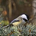 CHICKADEE-10 Poster by Robert Pearson
