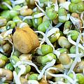 Chickpea and other lentils in the form of healthy eatable sprouts Poster by Ashish Agarwal