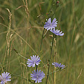 chicory 2765 Print by Michael Peychich