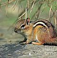 Chipmunk on a Warm Summer Evening Print by Inspired Nature Photography By Shelley Myke