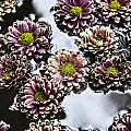 Chrysanthemum 3 Poster by Skip Nall