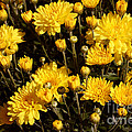 Chrysanthemums Print by Merv Scoble