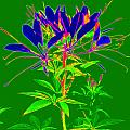Cleome gone abstract Print by Kim Galluzzo Wozniak