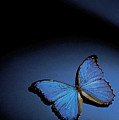 Close-up Of A Blue Butterfly Poster by Stockbyte