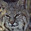 Close-up Of A Bobcat Poster by Dr. Maurice G. Hornocker