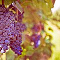 Close Up Of Grapes Poster by Boston Thek Imagery
