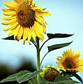 Close Up Of Sunflowers Print by philippe doucet