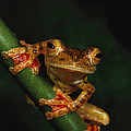 Close View Of A Harlequin Tree Frog Poster by Tim Laman