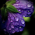 Closeup Of Purple Flower Poster by Florence Barreau