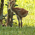 Closeup of Sandhill Baby Poster by Carol Groenen