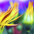 colorful flowers Poster by Sumit Mehndiratta