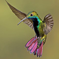 Colorful Humming Bird Poster by Image by David G Hemmings
