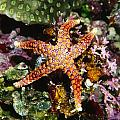 Colorful Seastar Laying On Cean Reef Print by James Forte