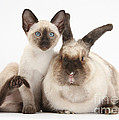 Colorpoint Rabbit And Siamese Kitten Print by Mark Taylor