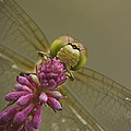 Common Darter Dragonfly Poster by Andy Astbury