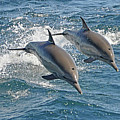 Common Dolphins Leaping Poster by Tim Melling