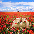 corn poppies and twin lambs Poster by Meirion Matthias