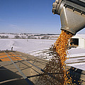 Corn Pours From An Auger Into A Grain Poster by Joel Sartore