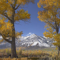 Cottonwood Trees Fall Foliage Carson Poster by Tim Fitzharris