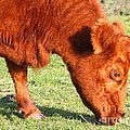 Cow Grazing In The Field . 7D9931 Poster by Wingsdomain Art and Photography