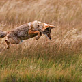 Coyote Leaping - Gibbon Meadows Poster by Photo by DCDavis