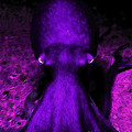 Creatures of The Deep - The Octopus - v4 - Purple Poster by Wingsdomain Art and Photography
