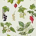 Currants and Berries Print by Elizabeth Rice
