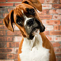 Cute Dog Print by Danny Beattie Photography