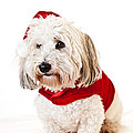 Cute dog in Santa outfit Print by Elena Elisseeva