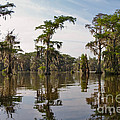 Cypress Trees and Spanish Moss in Lake Martin Poster by Louise Heusinkveld