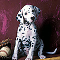 Dalmatian puppy with baseball Print by Garry Gay