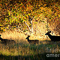 Deer Family in Sycamore Park Poster by Carol Groenen