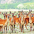 Deers Poster by MotHaiBaPhoto Prints
