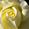 Delightful Yellow Rose With Dew Poster by Tracie Kaska