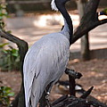 Demoiselle Crane Print by Carol  Bradley - Double B Photography