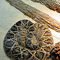 Diamond Back Rattler Poster by Jan Amiss Photography