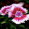 Dianthus Poster by Rona Black