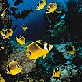Diver And Butterflyfish Poster by Dave Fleetham - Printscapes