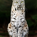 Divinity Print by Big Cat Rescue