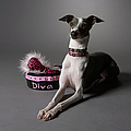 Dog In Sitting Position With Diva Bowl Poster by Chris Amaral